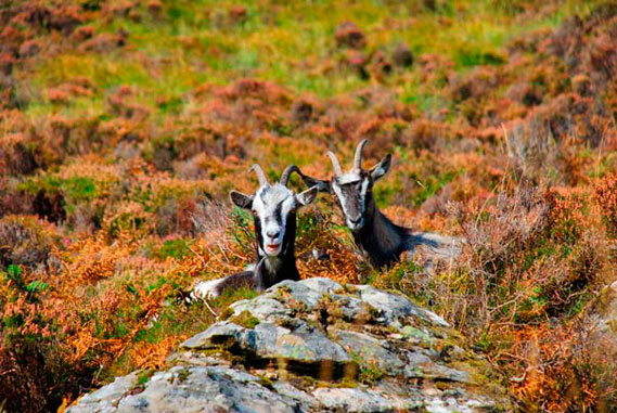 Wild goats in the Connemara National Park