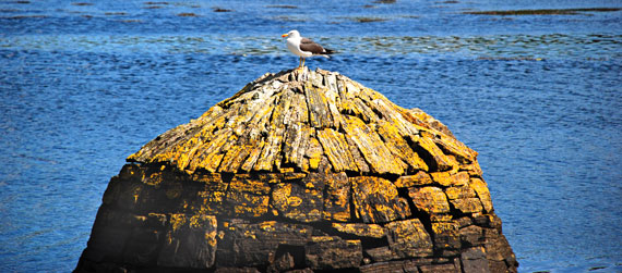 Seagull at Clifden Harbour, the Beach Road