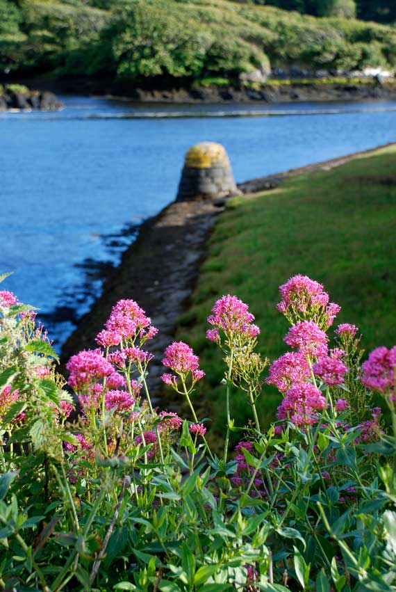 Red Valerian at Clifden Harbour, Connemara